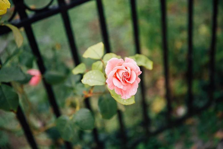 escaping rose